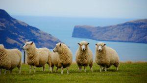 de la laine sur pattes ^^